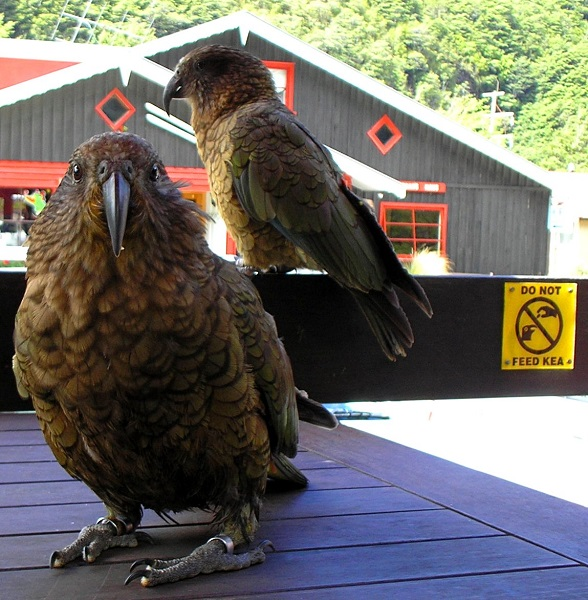 Kea in a South Island café