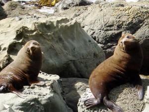 A pair of New Zealand Fur Seals