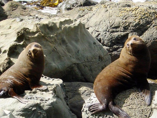 A pair of New Zealand Fur Seals