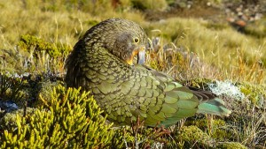 A kea in the wild