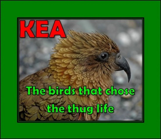 Kea - thug life