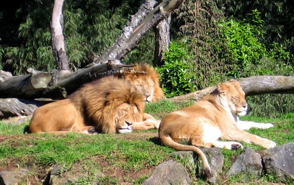 Lions, Auckland Zoo, New Zealand